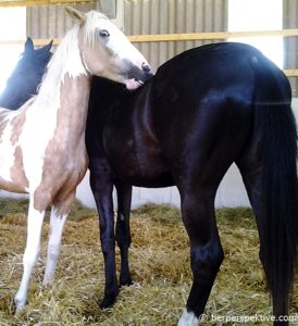 pferde kraulen sich gegenseitig
