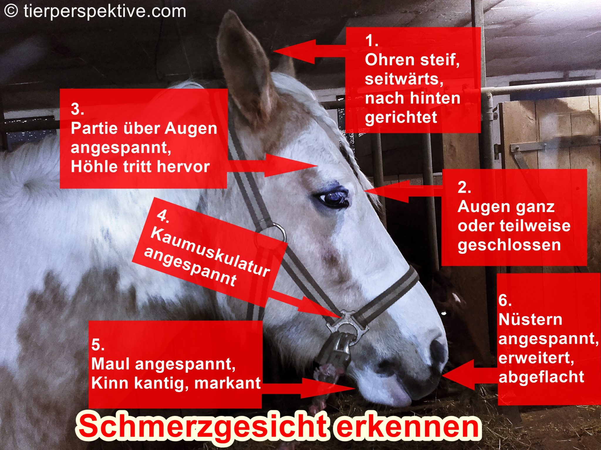 Schmerzgesicht beim Pferd erkennen