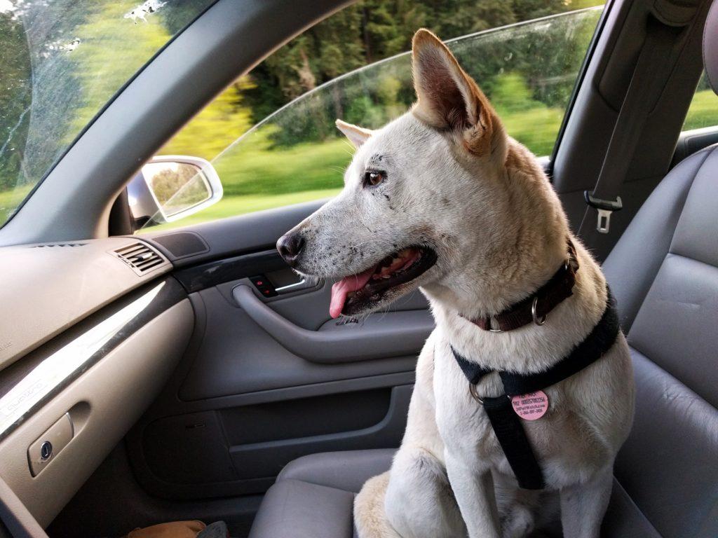 Hund bei Hitze im Auto