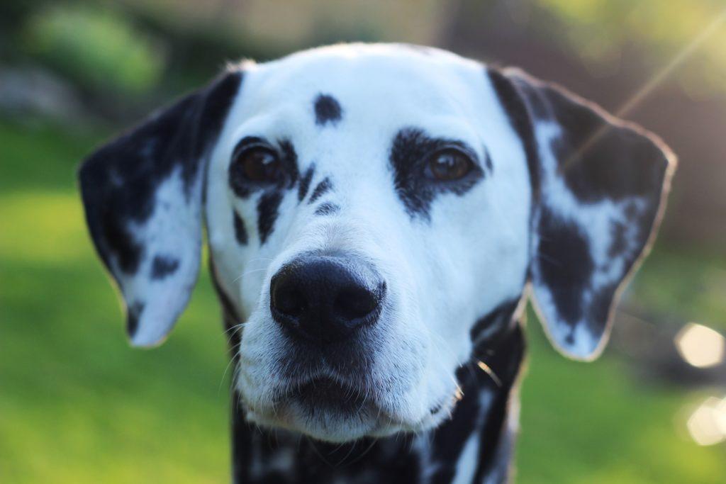 Domestikationssyndrom beim Hund