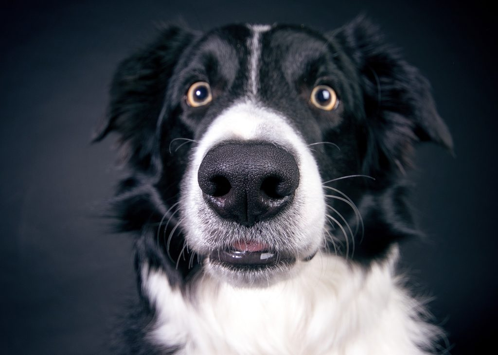 gehorsamste hunderassen